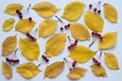 黄色叶子和小苹果法国产苹果在白板 免版税图库摄影