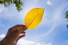 黄色叶子和手在天蓝色 免版税库存照片