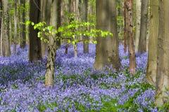 绿色叶子和数百万会开蓝色钟形花的草 免版税库存图片