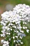 绿色叶子和白花 免版税库存图片
