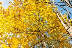 黄色叶子和蓝天背景秋季 免版税库存图片