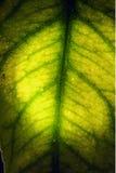 绿色叶子和他的静脉在光 免版税库存图片