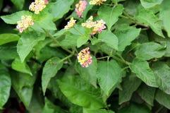 黄色叶子和绿色叶子厂|在绿色叶子登山人的美丽的花 库存照片