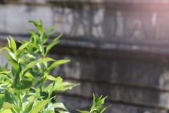 绿色叶子和年迈的墙壁 免版税图库摄影