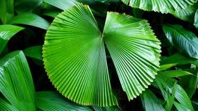 绿色叶子在新加坡 免版税库存图片