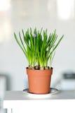 水仙绿色叶子在棕色罐的在桌上 免版税库存图片