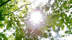 绿色叶子在森林通过发光的太阳里 股票录像