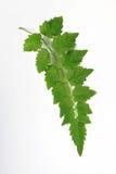 绿色叶子在泰国 奶油被装载的饼干 免版税库存图片