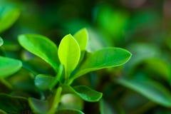 绿色叶子在热带森林,泰国里 库存照片