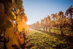 黄色叶子在秋天期间的葡萄园里 库存照片