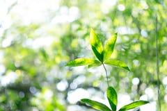 绿色叶子在自然背景的早晨 免版税库存照片