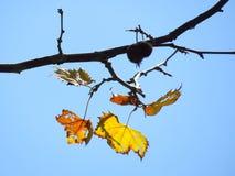 黄色叶子在蓝天下 库存图片