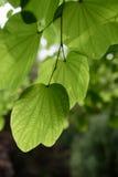 绿色叶子在阳光下 免版税库存图片
