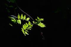 绿色叶子在阳光下 免版税图库摄影
