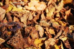 黄色叶子在11月,秋天背景 图库摄影