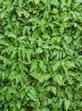 绿色叶子墙壁背景 免版税图库摄影