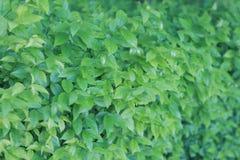 绿色叶子墙壁 免版税库存照片