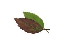 绿色叶子孤立,两片叶子纹理  库存图片