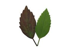 绿色叶子孤立,绿色叶子和棕色叶子纹理  库存图片