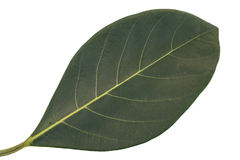 绿色叶子孤立,绿色叶子纹理  免版税图库摄影