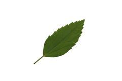 绿色叶子孤立,绿色叶子纹理  图库摄影
