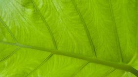 绿色叶子宏指令纹理 免版税图库摄影