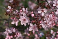紫色叶子李子 库存照片