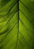 绿色叶子柚木树 库存图片
