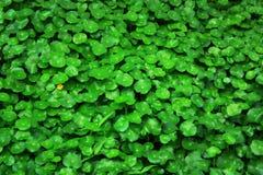 绿色叶子样式和纹理为圣帕特里克` s天 免版税库存照片
