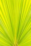 绿色叶子棕榈树 免版税库存照片