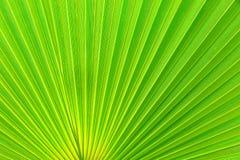 绿色叶子棕榈树 免版税库存图片