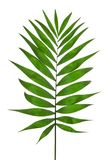 绿色叶子棕榈树(Howea) 库存图片
