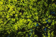 绿色叶子槭树、光和阴影 库存照片
