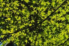 绿色叶子槭树、光和阴影 免版税库存图片
