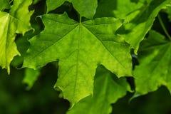 绿色叶子槭树 库存照片