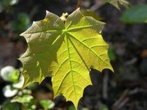绿色叶子槭树 免版税图库摄影
