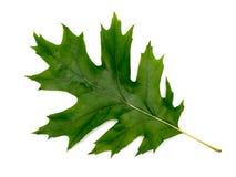 绿色叶子橡木 库存图片