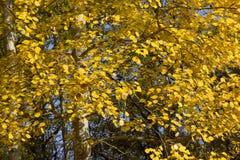 黄色叶子欧洲白杨木(杨属tremula)在秋天。 库存照片