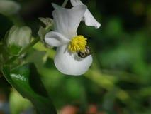 绿色叶子白色秋海棠和绿色蜂 免版税库存图片