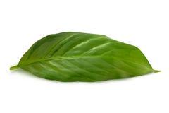 绿色叶子白色 免版税库存照片