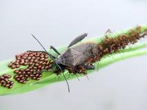 绿色叶子的甲虫用它的鸡蛋和婴孩 库存照片