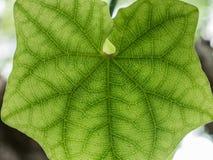 绿色叶子的纹理 免版税图库摄影