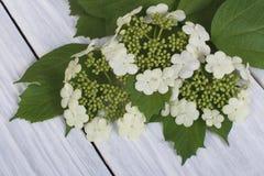 从年轻绿色叶子的荚莲属的植物花 图库摄影