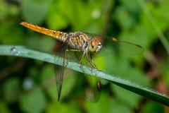 绿色叶子的绿色蜻蜓举行 库存图片