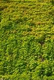 绿色叶子盖的墙壁 免版税库存图片