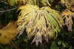 黄色叶子秋天 库存图片
