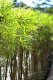 绿色叶子竹子在夏天庭院里  免版税图库摄影
