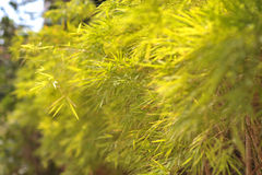 黄绿色叶子竹子在夏天庭院里  库存照片