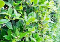 绿色叶子篱芭 免版税库存照片