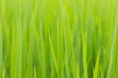 绿色叶子米 免版税库存图片